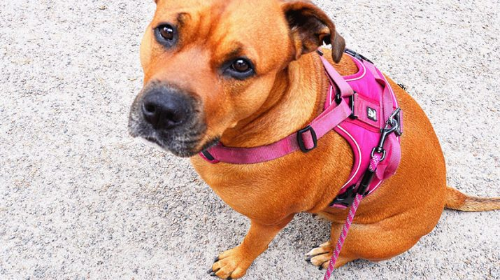 Featured Dog 2 715x400 - Not Just Collars: Three Important Dog Accessories You Should Have