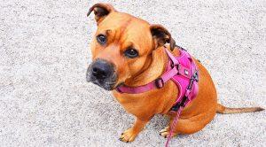dog leashes 300x166 - dog-leashes
