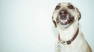 dogcollarsid 300x166 - dogcollarsid